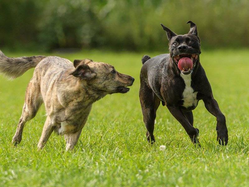 Tierschutz-Hunde Hope und Buddy toben auf der Wiese. © Martina-McDevin