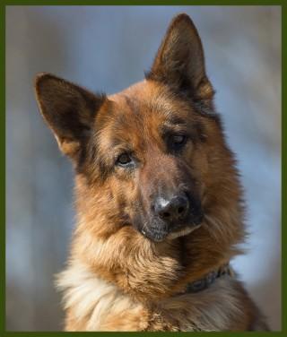 Laif-Schäferhund