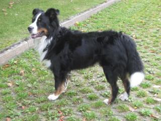 Artus- Berner Sennerhund