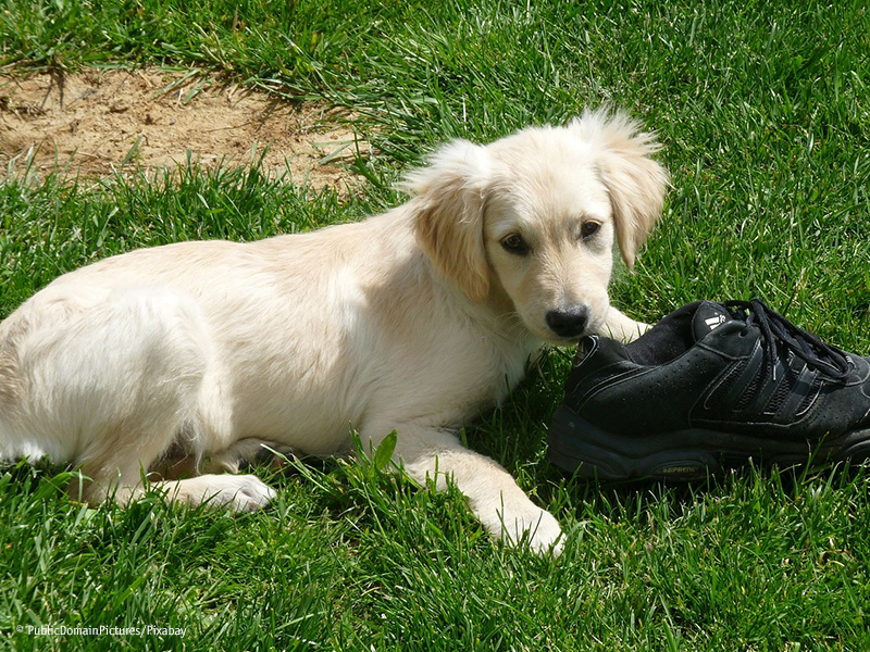 Hund Welpe knabbert Schuh an_PublicDomainPictures-Pixabay