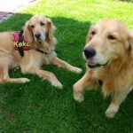 Golden Retriever Sunny und Pflegebruder