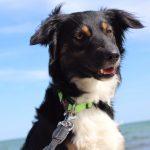 Hund Liam über shelta Zuhause gefunden 2