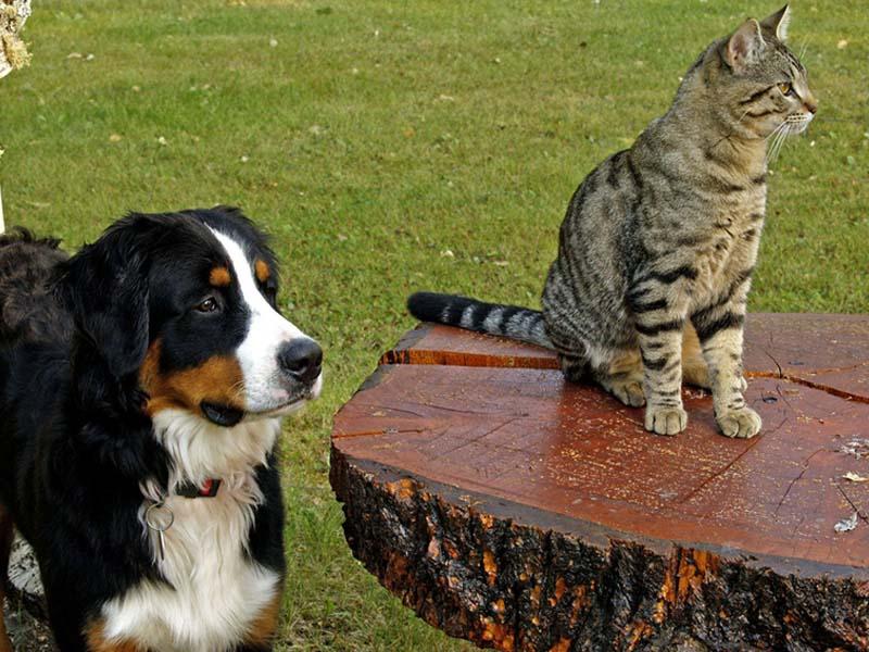 Demenz bei Hunden und Katzen - Berner Sennenhund und Katze auf der Wiese.