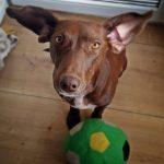 shelta Online-Tierheim Fotoaktion: Mischlingshund Bossel | © Britta Achenbach