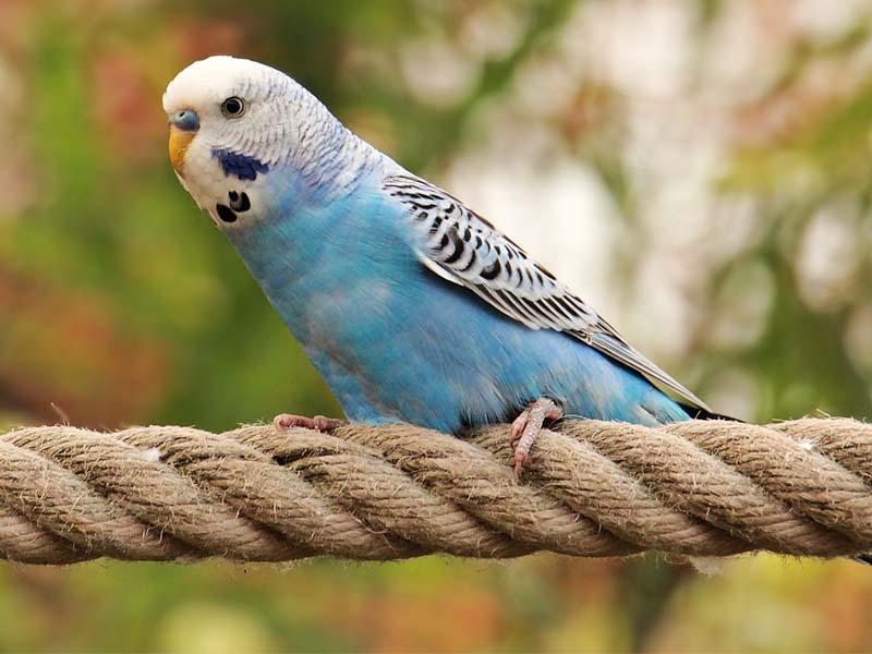 Blauer Wellensittich sitzt auf Seil