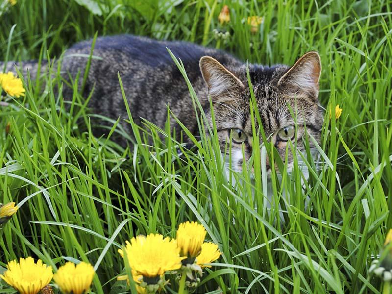 Katze auf Wiese mit Löwenzahn