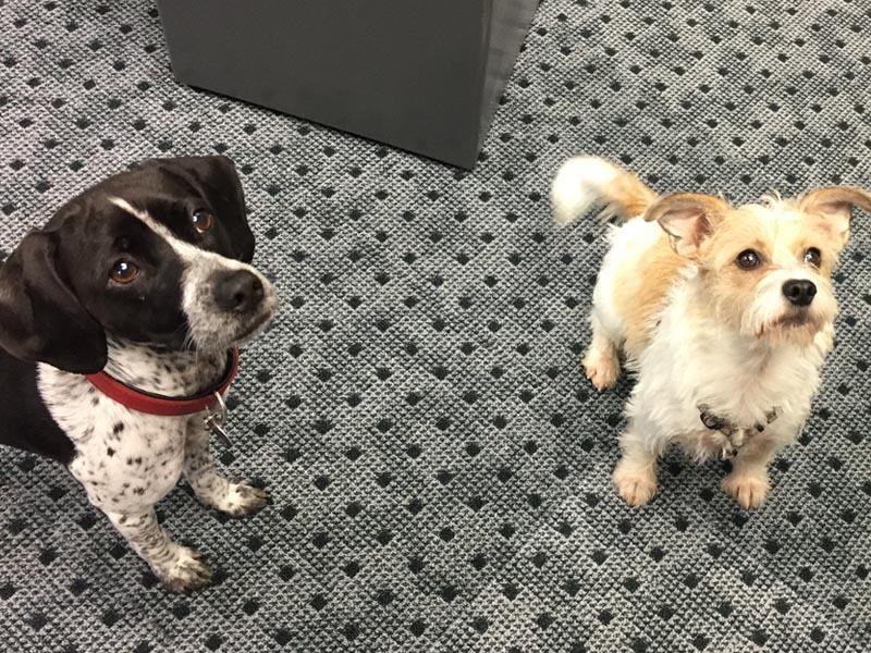Schnauzensicht: shelta Bürohunde Dotty und Lilly
