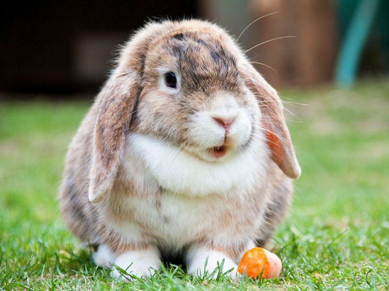 Kaninchen isst Karotte auf der Wiese.