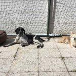 Schnauzensicht_Dotty und Bella liegen der Sonne
