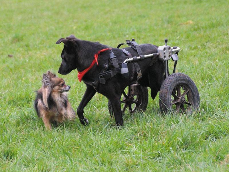 shelta Handicap Tiere_Hund mit Rolli_Galgo-Lovers-a_s_b_l