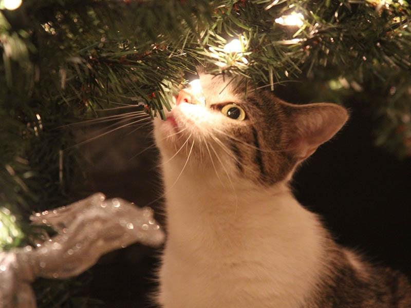 Katze am Weihnachtsbaum - Mögliche Gefahren in der Weihnachtszeit