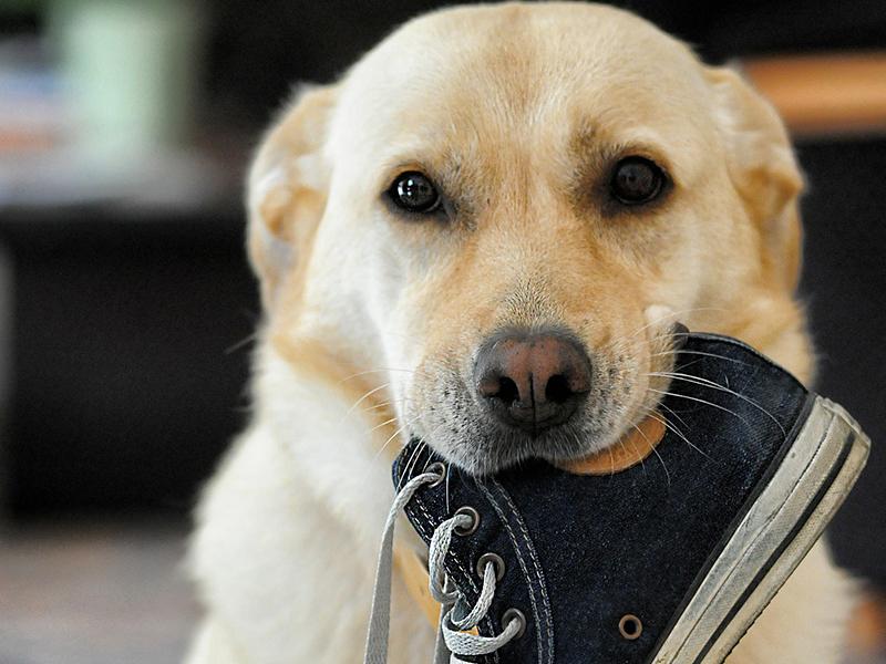 Haftpflichtversicherung für haustiere - Hund kaut auf Schuh