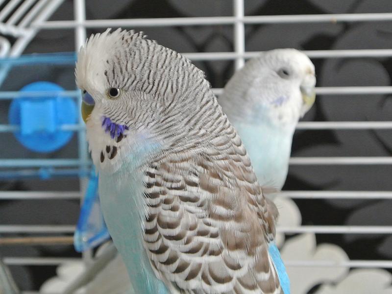 Vogelkäfig reinigen - Wellensittiche
