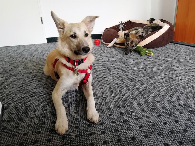 Der perfekte Bürohund - Izzy und Frieda im Büro