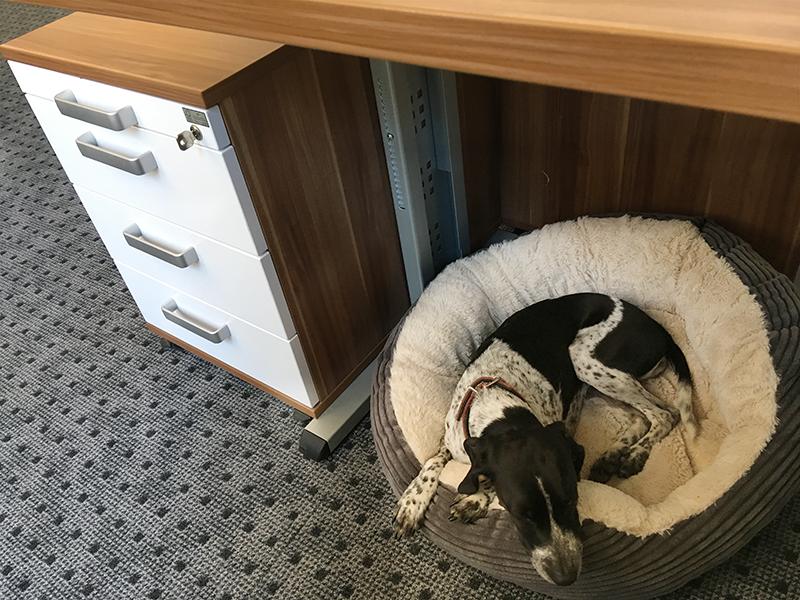 Büroschnauze Dotty liegt in ihrem Körbchen unterm Schreibtisch.