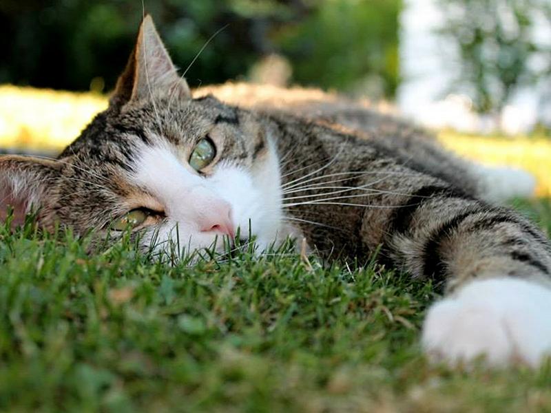 Hitzschlag_Katze liegt entspannt auf der Wiese (c) pixabay.com