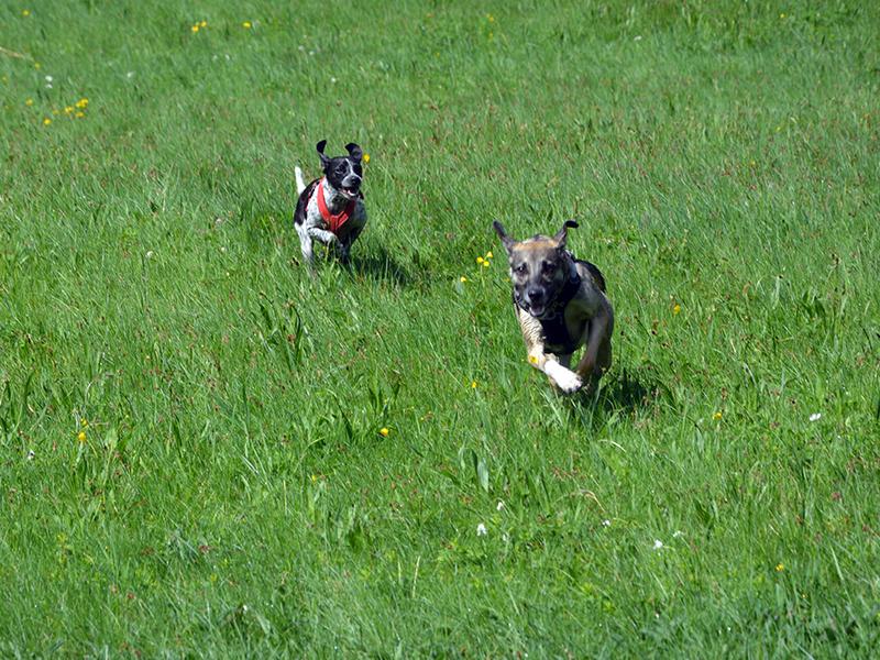 Schnauzensicht - Büroschnauzen Dotty und Frieda rennen auf der Wiese