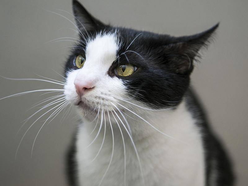 Dreibeinige Haustier - schwarz-weiße Katze