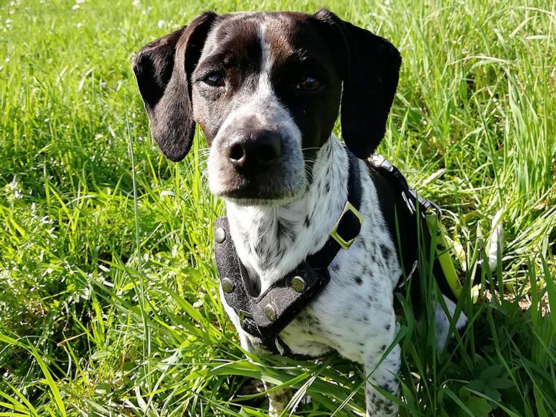 Schnauzensicht-Hund Dotty sitzt auf der Wiese