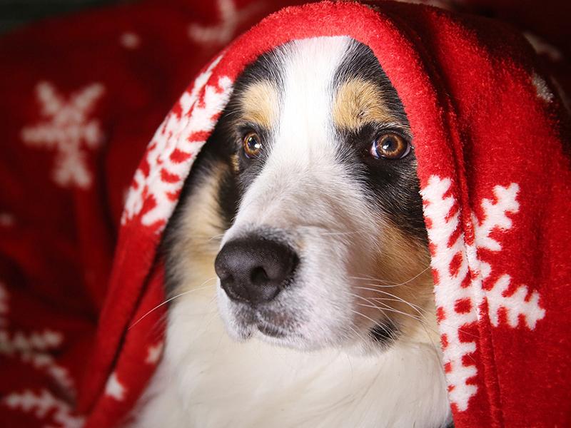 Keine Hunde auf dem Weihnachtsmarkt - Hund kuschelt in Decke