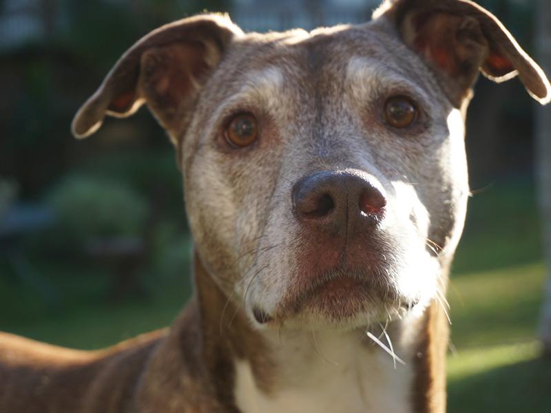 Graue Schnauzen_Senioren Hund (c) pixabay.com