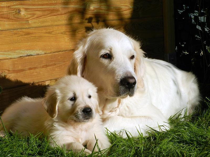 Welpe oder erwachsenes Haustier_Hunde_(c)-pixabay