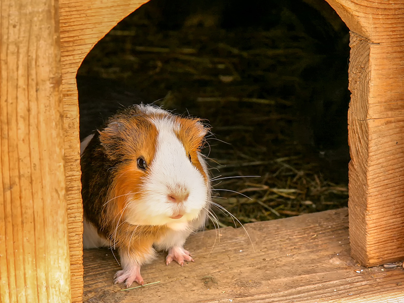 Außengehege Kleintiere_Meerschweinchen im Holzhäuschen_(c)pixabay