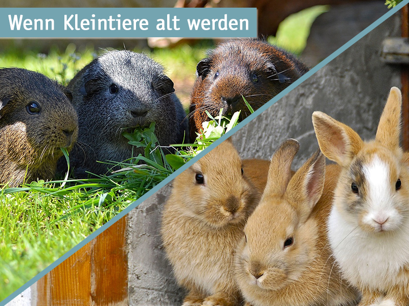 Tipps-ältere-Kleintiere-Meerschweinchen-Kaninchen
