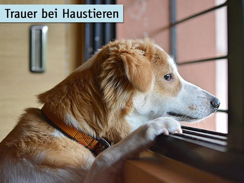 Trauer bei Haustieren-Hund schaut aus dem Fenster