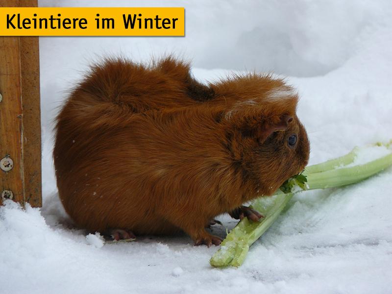 Meerschweinchen im Schnee_hottemax_pixabay