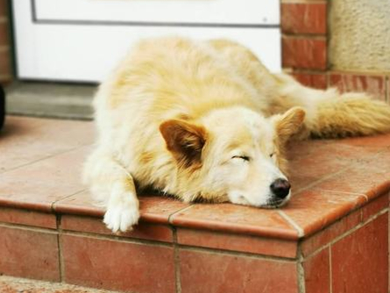 shelta-Notfalltier_Hund-Caramello-schlaeft