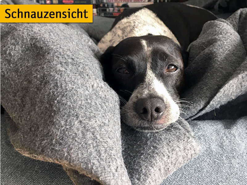 shelta-Schnauzensicht_Hund Dotty ist schlecht