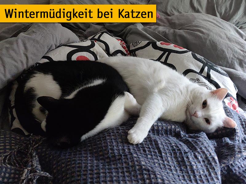 Wintermuedigkeit bei Katzen_Stubentiger liegen im Bett