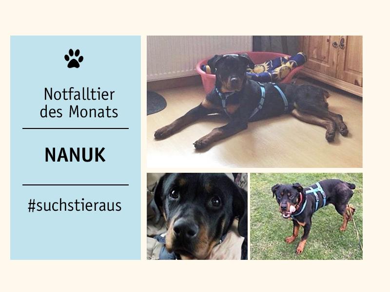 sheltaNotfalltier_Rottweiler-Nanuk