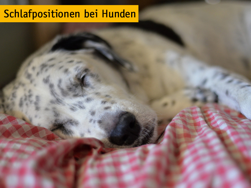 Schlafpositionen bei Hunden_shelta_(c)Woodsie_Pixabay