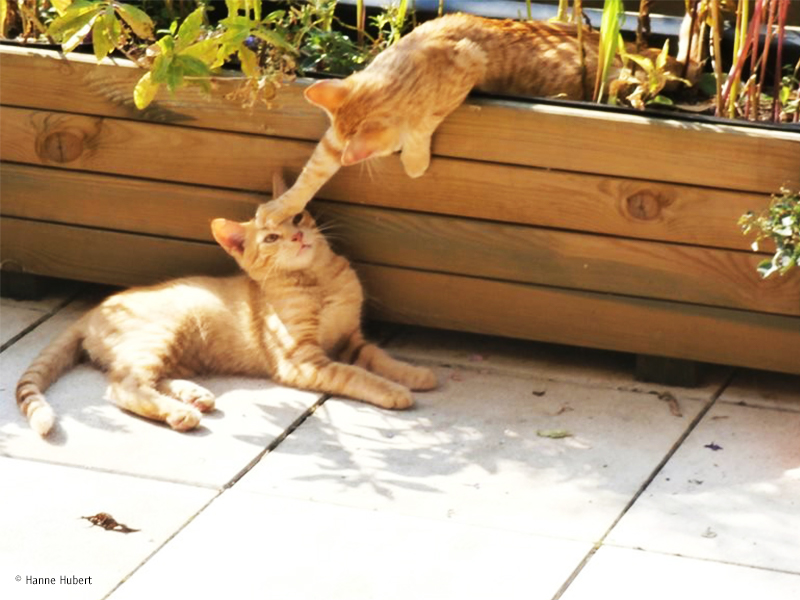 Was ist typisch Katze_Zwei Katzen spielen im Garten_(c)-Hanne-Hubert