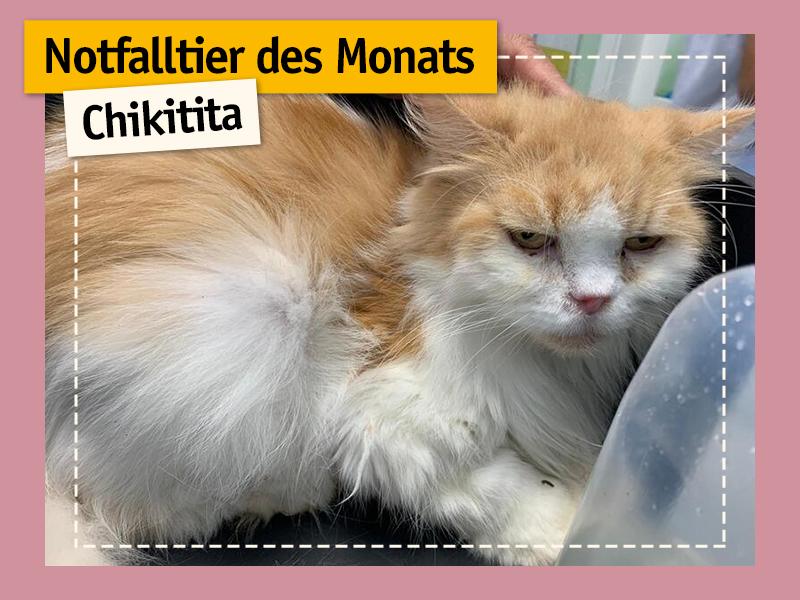 shelta Notfalltier des Monats_Perserkatze Chikitita
