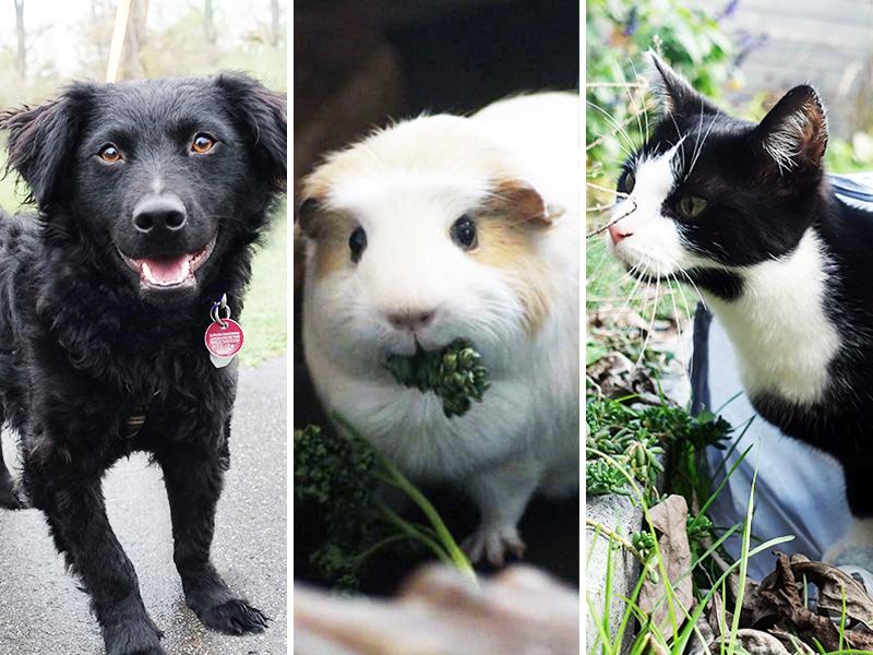 Tierschutztiere_Hund_Katze_Meerschweinchen_shelta