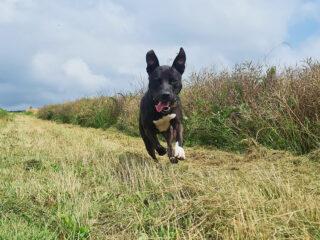 Listenhund Toki tobt beim Spazierengehen. (c) Melissa-Schmidt