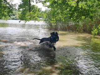 Listenhund Toki tobt im Wasser. (c)Melissa-Schmidt