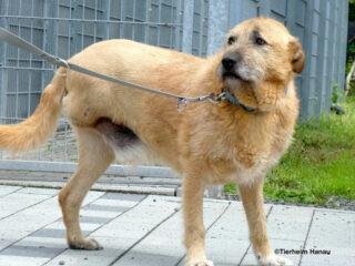 Tierschutzhund Keno hat nur drei Beine. © Tierheim Hanau